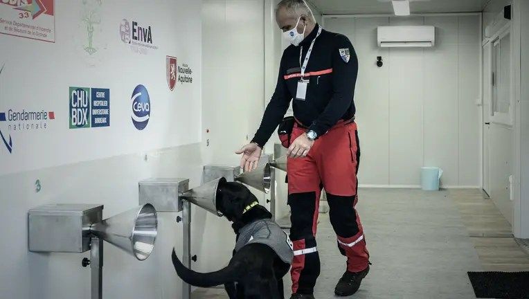 Dogs 97% effective in detecting COVID-19 in human sweat