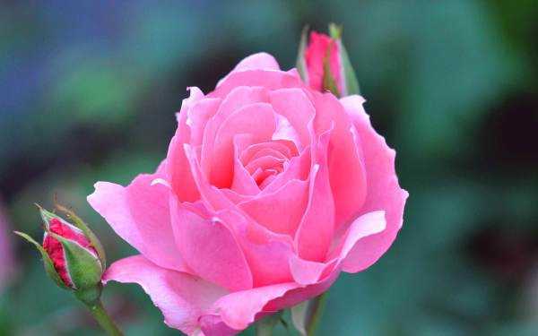 21+ Rose Flower Wallpapers, Flower Backgrounds, Pictures ...