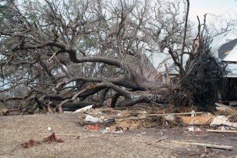 LARGE OAK TREE UPROOTED BY KATRINA