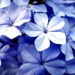 Free Violet Flowers Stock Photo Freeimages Com