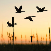 Image result for canada geese flying formation