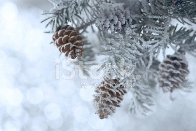 Verschneite Weihnachtsbaum Zweig MIT Zapfen Stockfotos