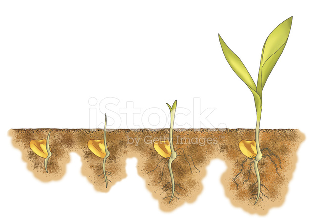 Growing Corn From Seed Stock Photos