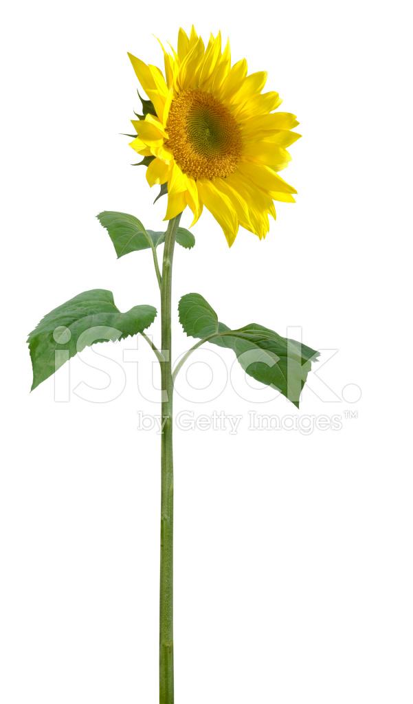 Worlds Tallest Sunflower Plant