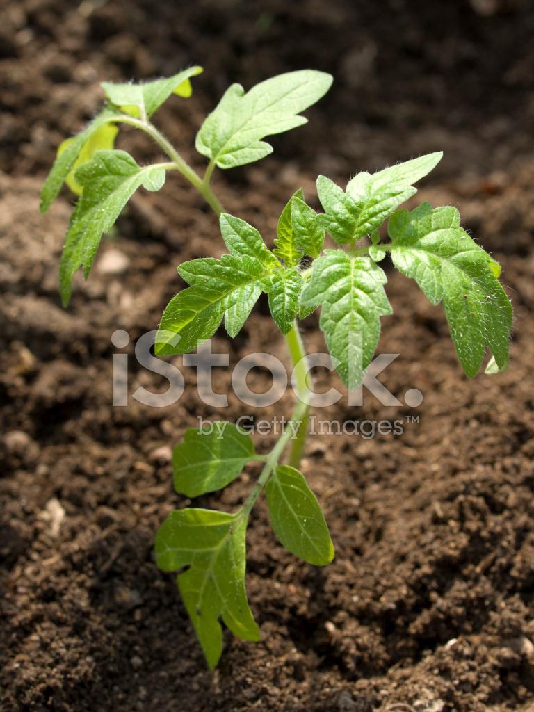 剛種植的番茄幼苗 照片素材 - FreeImages.com