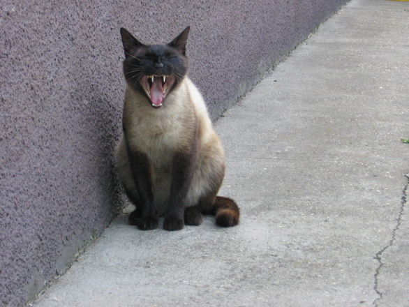 screaming cat