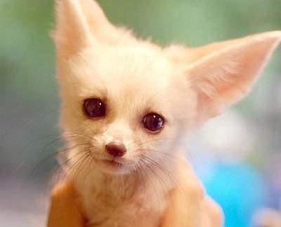 《耳廓狐》是個可愛大耳朵寵物