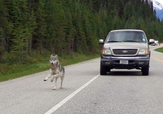 Motorcycle Chased Wolf