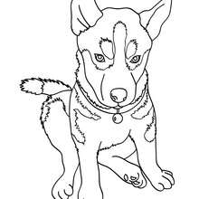 Husky Coloring Pages Hellokids Com