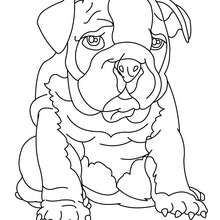Bulldog Coloring Pages Hellokids Com