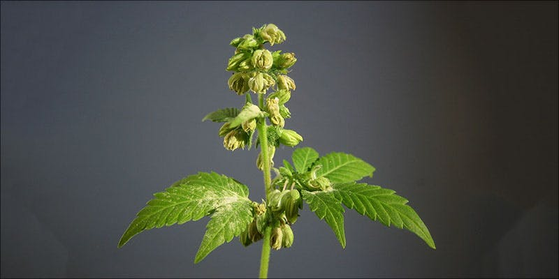 Is Your Plant 1 How To Tell If Your Cannabis Plants Are Male (And What Do With Male Flowers)