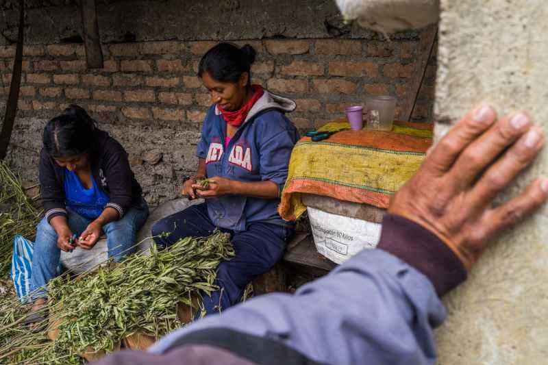 Nicolas Enriquez Marijuana   40 Aquaponics is the Future of Growing Weed