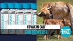 Does Covaxin have newborn calf serum? Govt clarifies as RTI document goes viral
