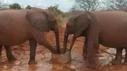 Elephant named Lekeni drinking water.
