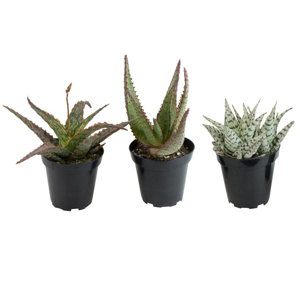Altman Plants 35 In Assorted Aloe Plant 3 Pack 0881030