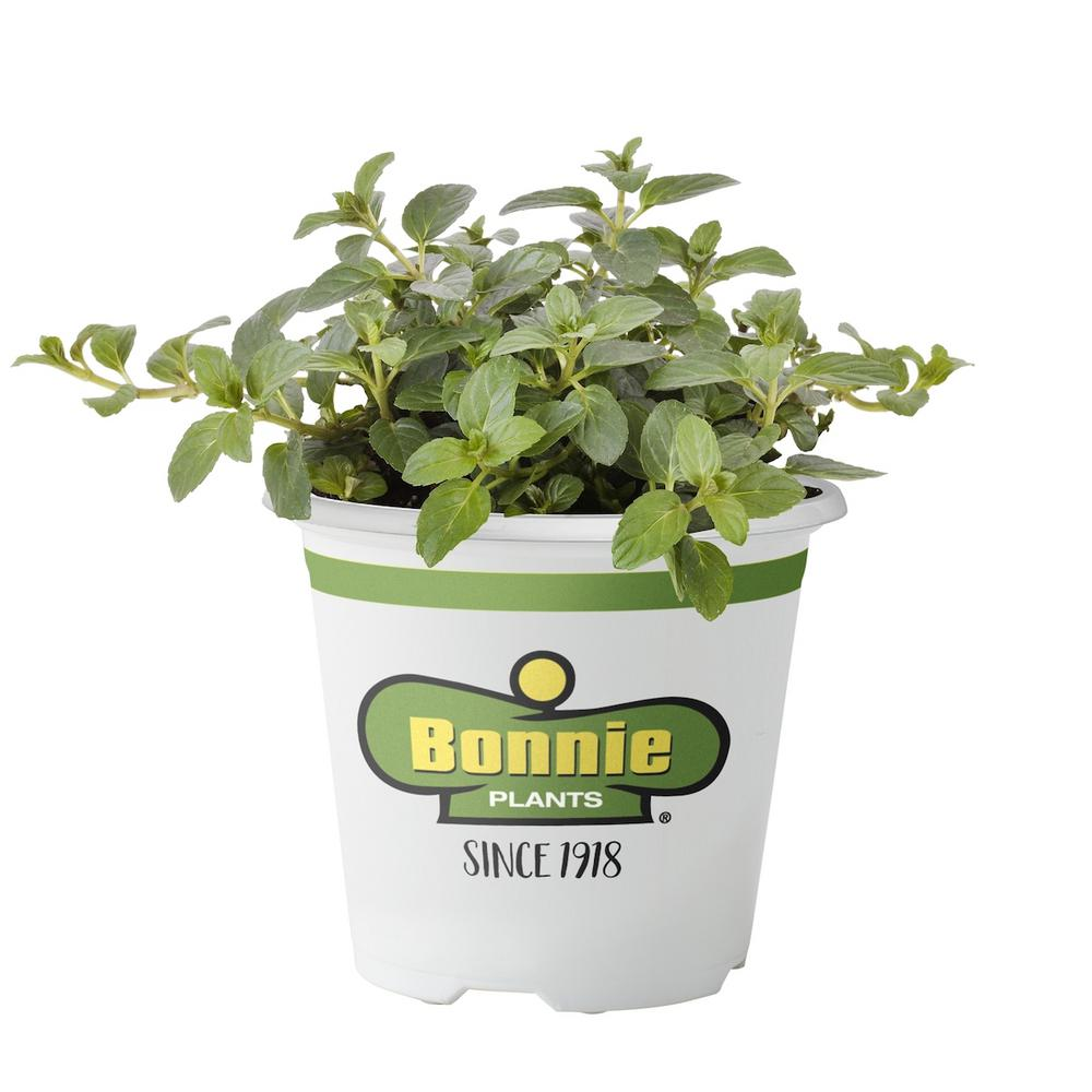 bonnie plants 4 5 in peppermint