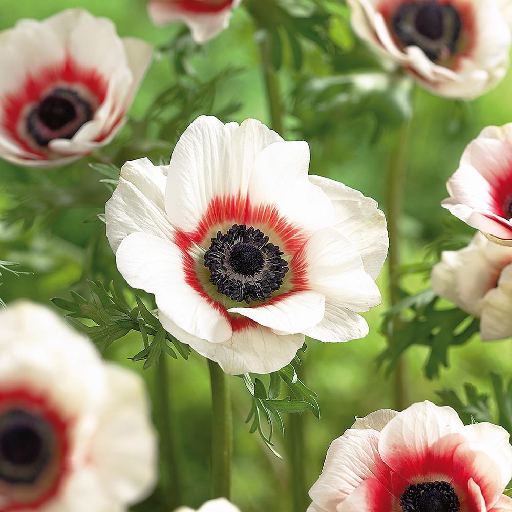 Van Zyverden Wind Flowers Bulbs Anemone Bi Color Set Of