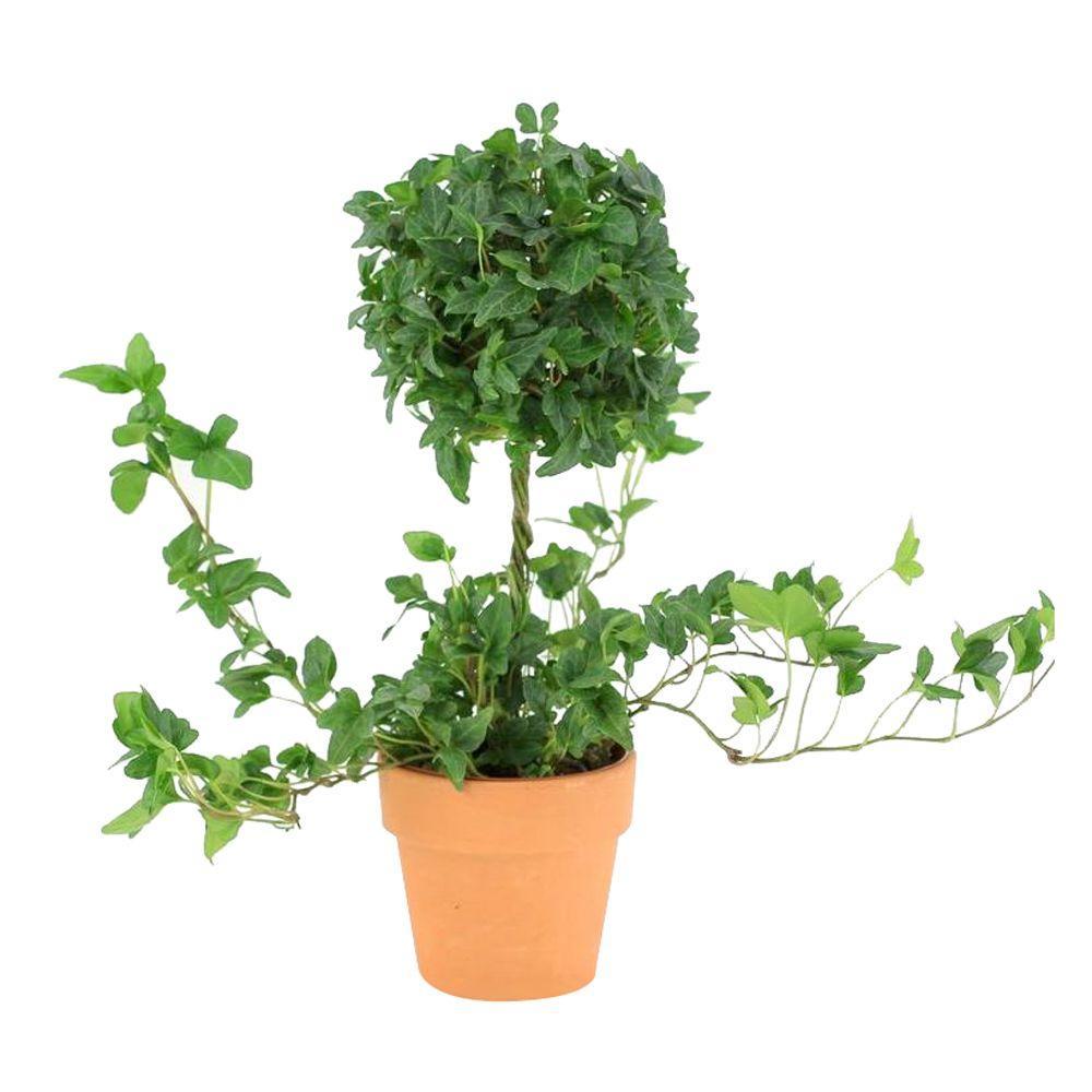 Best Kitchen Gallery: Ivy Garden Plants Flowers Garden Center The Home Depot of Tropical Ivy House Plants on rachelxblog.com
