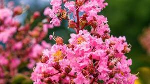 1 Gal Coral Pink Sioux Crape Myrtle Tree CRMSIO01G The