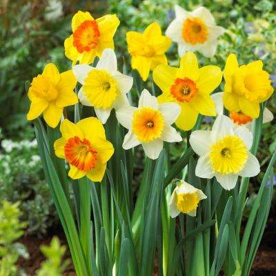 5   20 to  10 F    Daffodil   Bloomsz   Flower Bulbs   Garden Plants     Large Cupped Daffodil Mix Flower Bulb  20 Pack