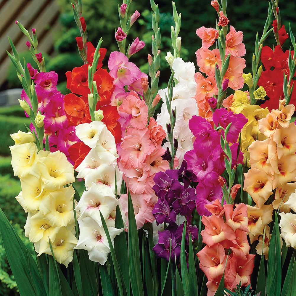 Van Zyverden Gladiolus Colossal Large Sized Flowering Rainbow Mixed     Van Zyverden Gladiolus Colossal Large Sized Flowering Rainbow Mixed Bulbs   Set of 12