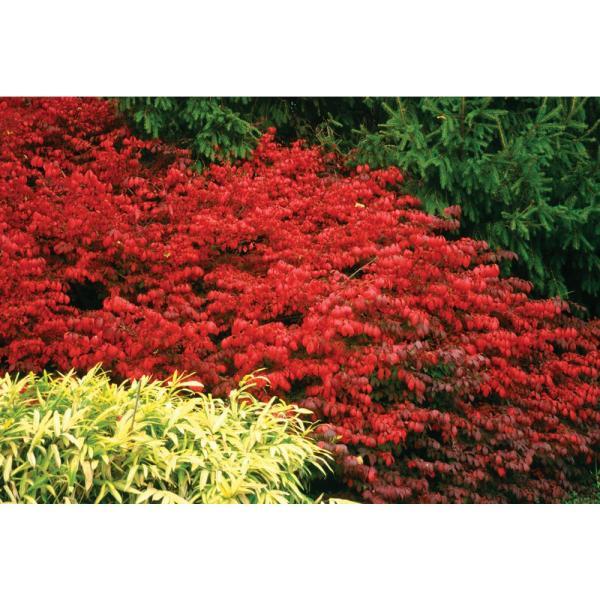 burning bush # 39