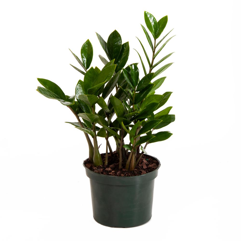 ZZ Plant in 6 in. Grower Pot-26059 - The Home Depot on Zz Plant Care  id=96988