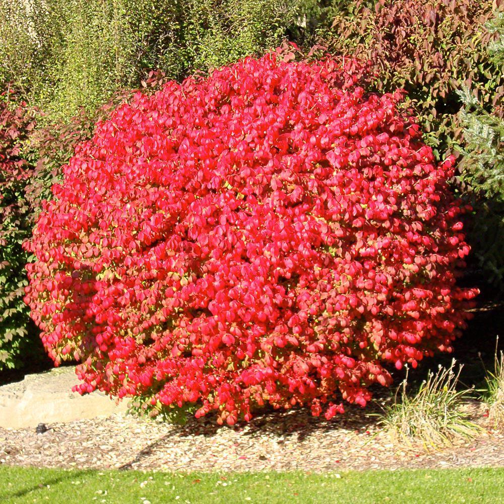 onlineplantcenter 3 gal flaming burning bush shrub on Burning Bush Plant id=89013
