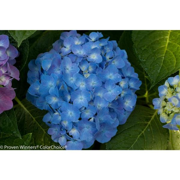 Proven Winners 4 5 in  qt  Let s Dance Blue Jangles Reblooming     Let s Dance Blue Jangles Reblooming Hydrangea  Live Shrub
