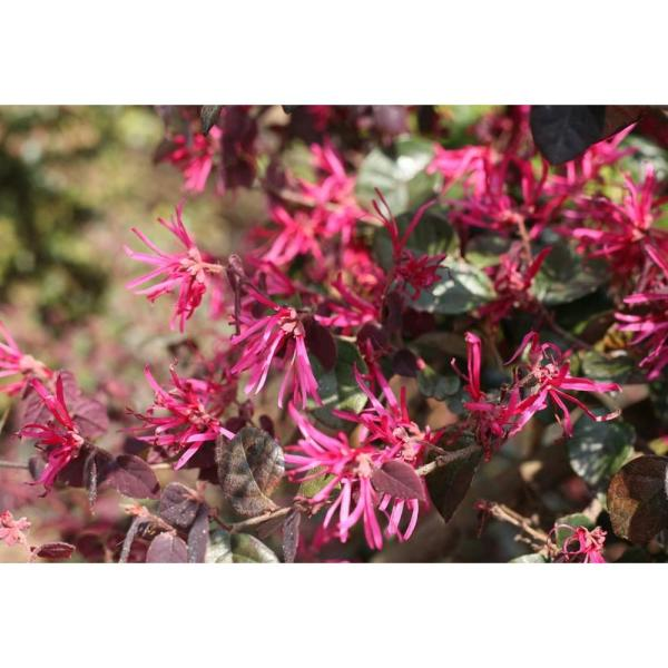 Proven Winners Jazz Hands Bold Chinese Fringe Flower  Loropetalum     Proven Winners Jazz Hands Bold Chinese Fringe Flower  Loropetalum  Live  Shrub  Pink