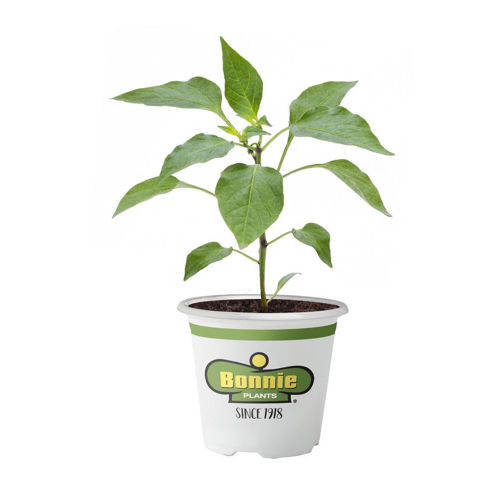bonnie plants 4 5 in jalapeno