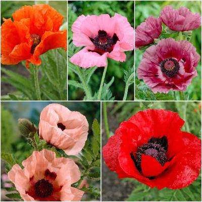 Poppies   Flower Bulbs   Garden Plants   Flowers   The Home Depot Colourful Oriental Poppy Collection  5 Pack