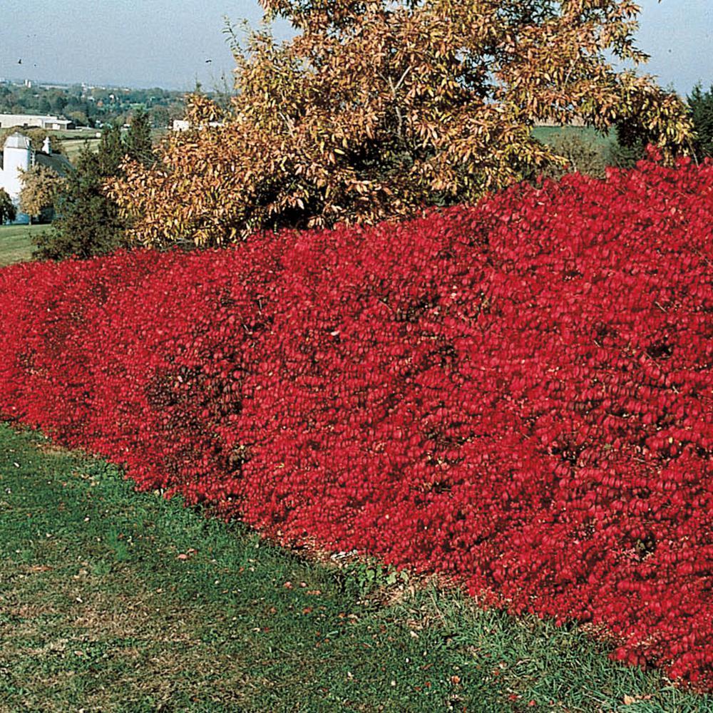 hill nurseries burning bush euonymus live Burning Bush Plant id=21818