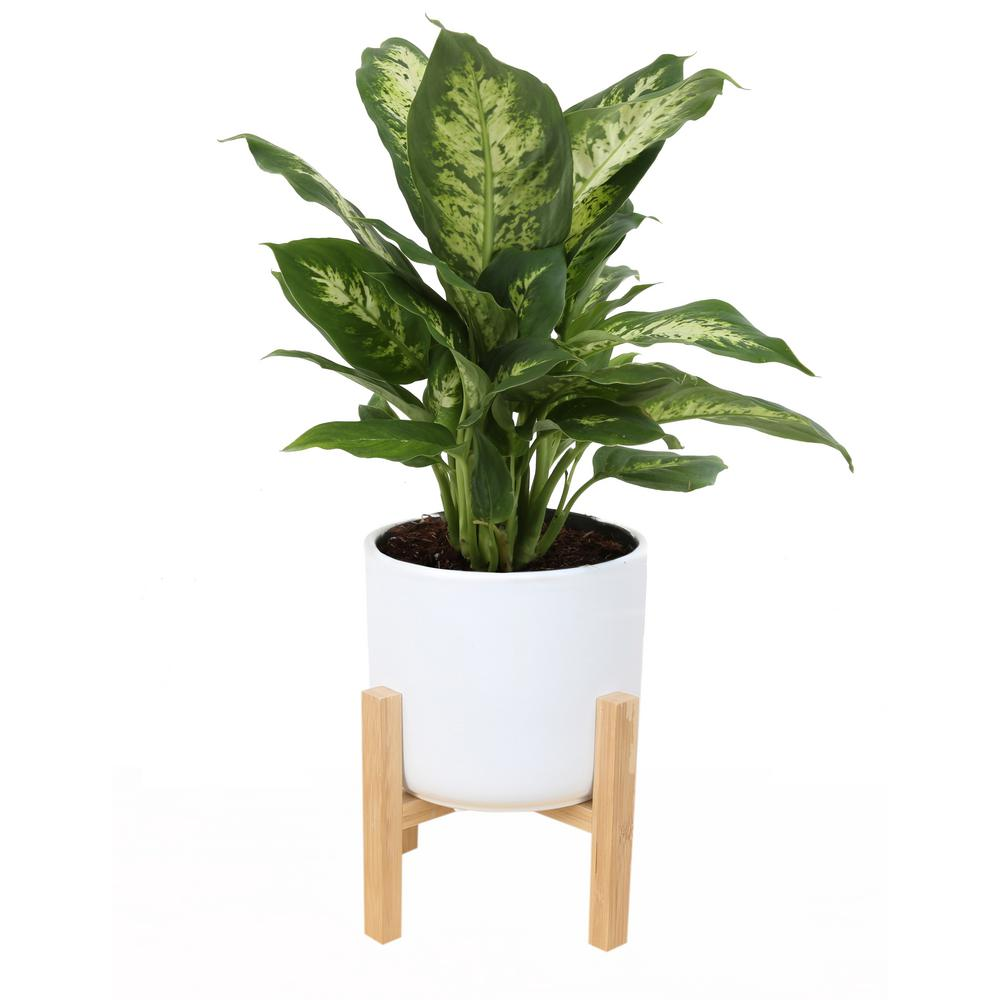 Costa Farms 6 In Dieffenbachia Plant In Mid Century White Planter Co Df06 3 Midwhtstd The Home Depot