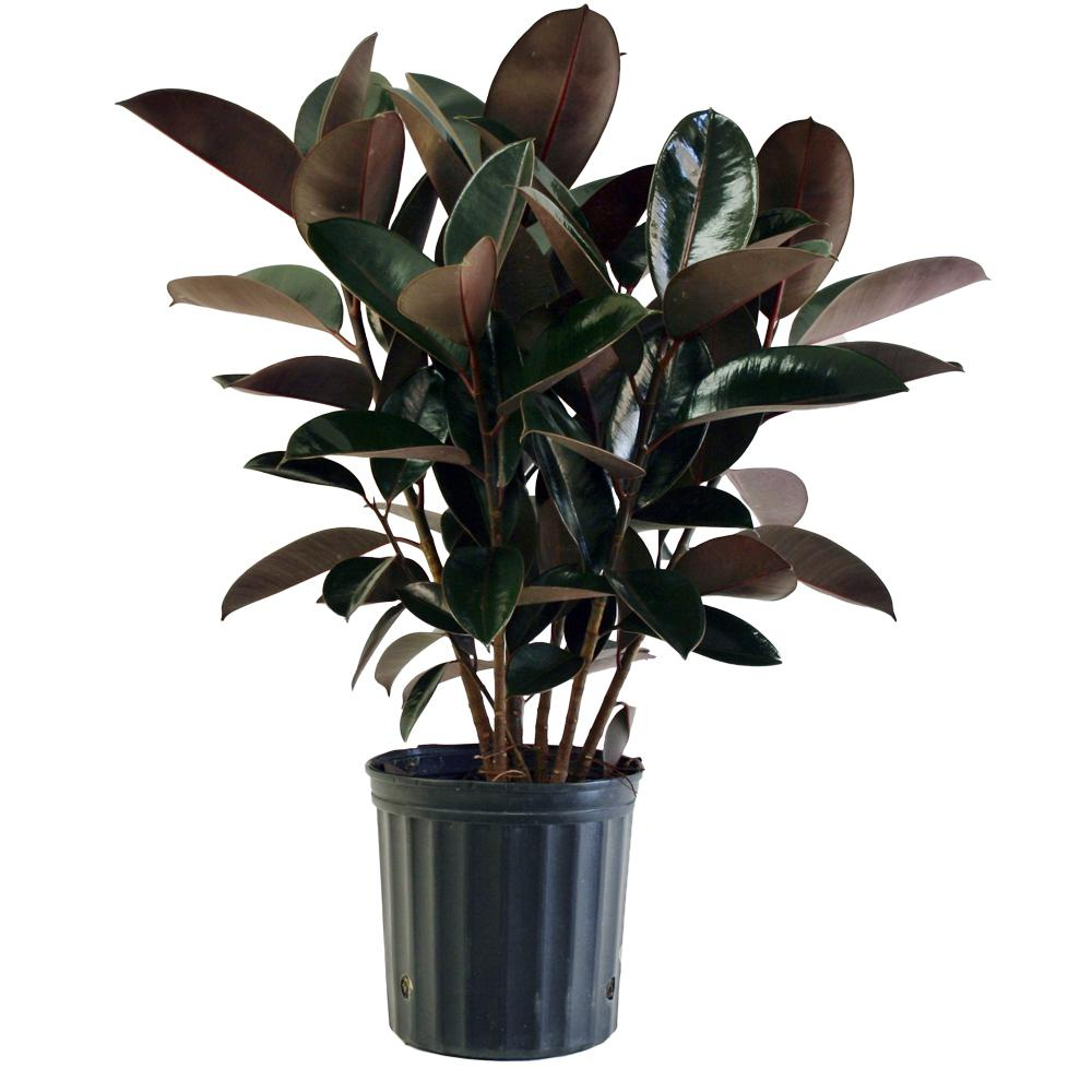 Best Kitchen Gallery: Costa Farms Burgundy Rubber Plant In 8 75 In Pot 10burg The Home of Large Leaf House Plant Names on rachelxblog.com