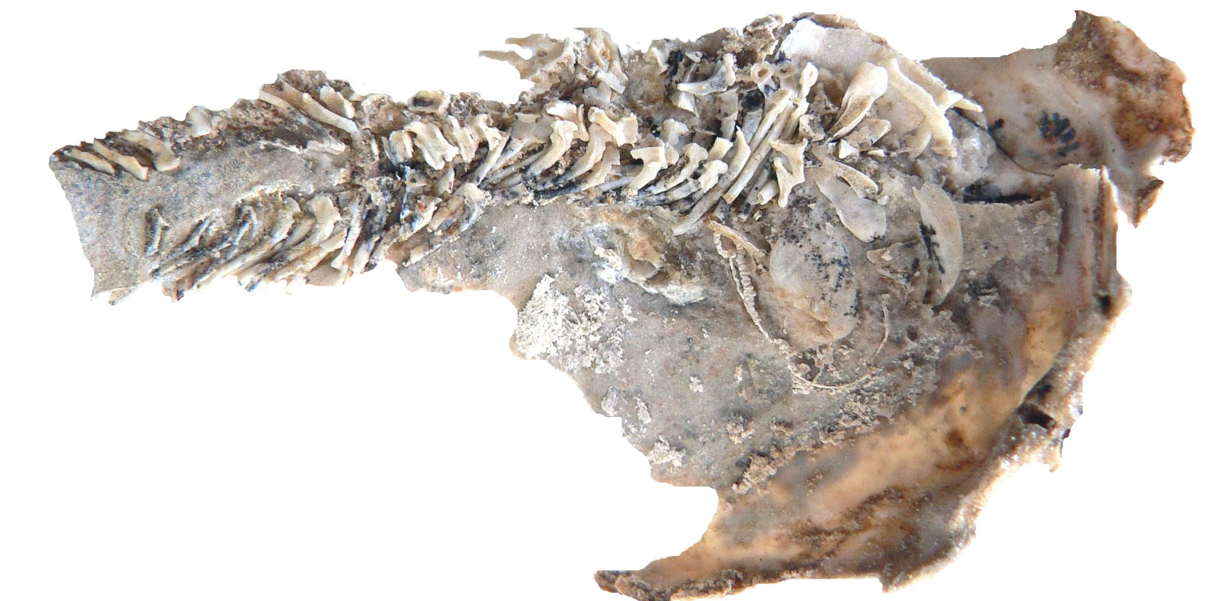 2012-10-15-Embryofossilplacoderm.jpg