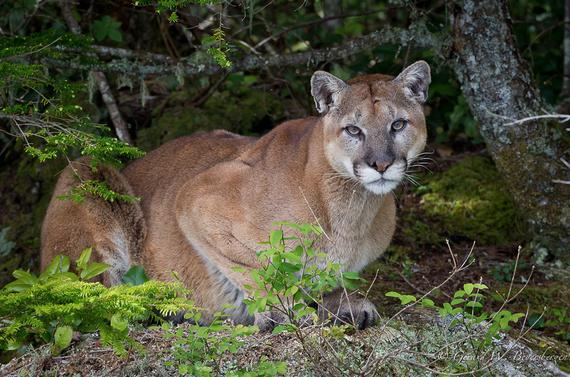 2014-04-15-cougar.jpg