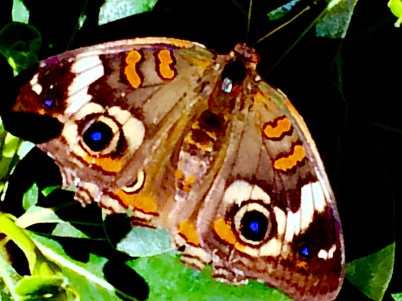 A Buckeye butterfly at the DBG's pavilion. (Photo credit: Scott Bridges)