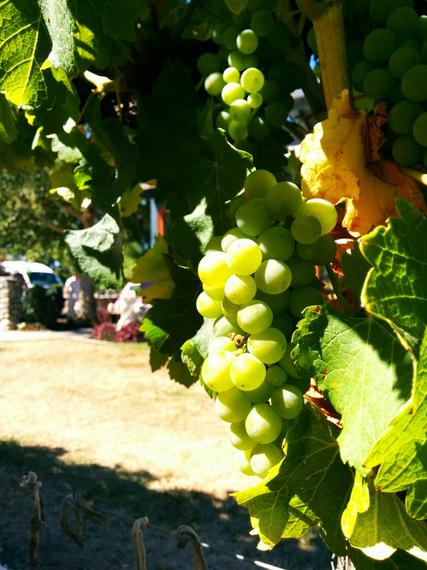 Wine Vines New Zealand