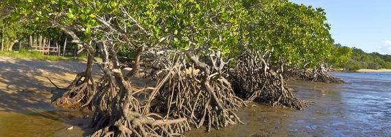 2015-10-27-1445967371-7445043-mangrovesaustraliaTDCccr300.jpg