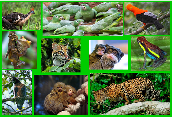 2015-11-03-1446578178-6230783-Manuamazonbiodiversitywildlifecollagemehccr301.png