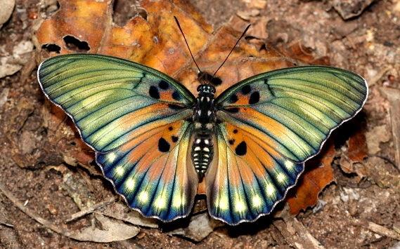 2015-12-22-1450818101-2593194-butterflyEuphaedraedwardsiGhanaCongoAfricaCreditAdrianHoskinsccr308.jpg