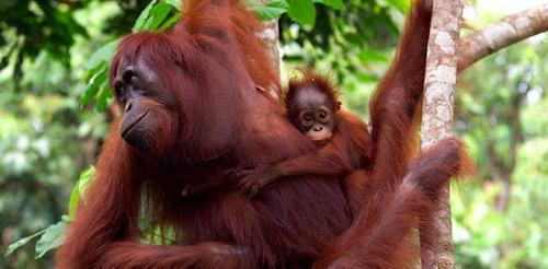 2015-12-28-1451340662-2704267-orangutansborneoSourceWWFdeclinedbyhalfover60yrsccr231.png