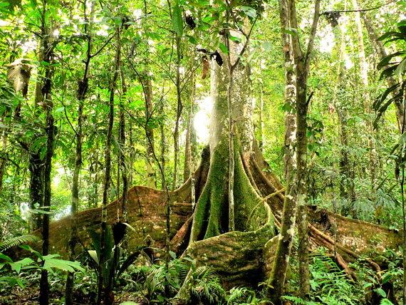 2016-02-23-1456256843-4853454-forestatmanuaSourceajunglescientists.wordpress.comccr301.jpg