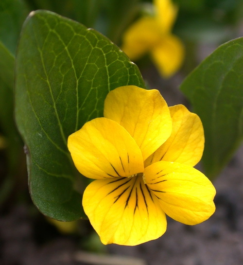 2016-06-15-1466018397-4295399-yellowvioletflowerinCOrockiesJune102014.jpg