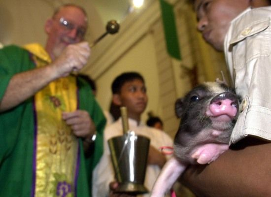 Piglet in Manila, Phillipines