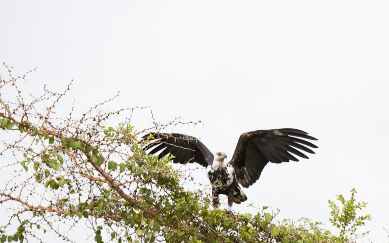Ruma Eagle