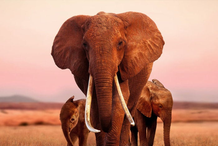 elephant queen doc apple