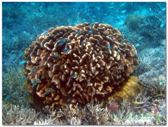 帛琉大斷層-玫瑰珊瑚