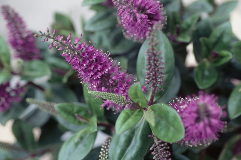 Bottle-brush like spikes of tiny purple hebe flowers